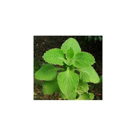 Forskolina 20% extrakt - Coleus forskohlii - 10g