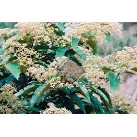 Haronga - Harungana madagascariensis - 50g sekaný