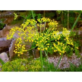 Kôpor voňavý semená - Anethum graveolens - 100g