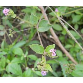 Punarnava koreň - Boerhavia diffusa - 100g mletý