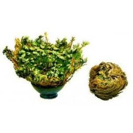 Ruža z Jericha - Selaginella lepidophylla - 10x veľká